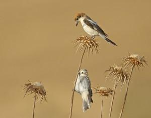 Woodchat Shrike by 1x