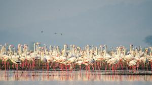 Flamingos At Lake  by Aniket Wasnik