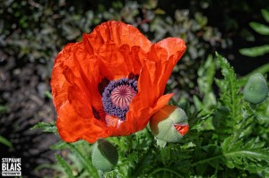Poppy Love by BLAIS Photo