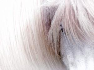 Icelandic Horse by Carmel Studios