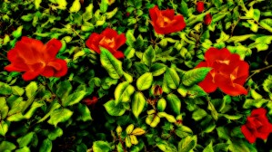 roselooking