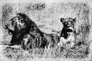 Lions in the shade by D de G