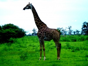 Giraffe Senegal by D de G
