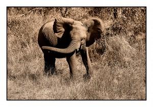 Baby Elephant by D de G