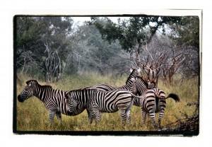Zebras 3 by D de G