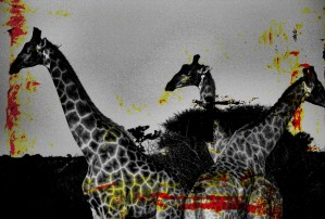 Giraffes Collage by D de G