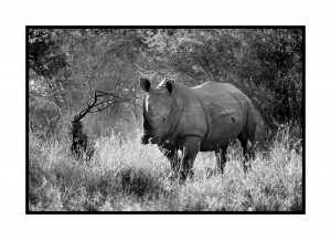 The Lonely Rhino by D de G