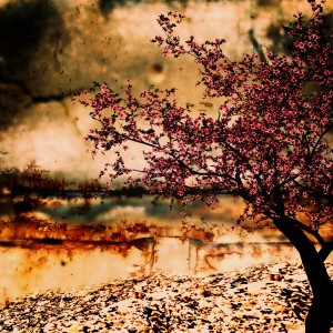 Cherry of blossom tree  by Dagmar Marina
