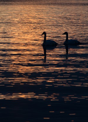 LaSalle Swans by Darren LeBlanc