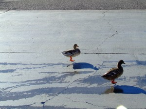 Ducks at Saguaro Lake  by Darryl Green
