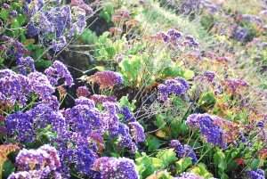 Purple Wild Flowers in Dana Point CA by Darryl Green