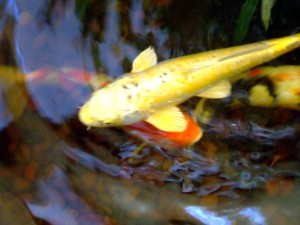 Koi Fish In Pond by Darryl Green