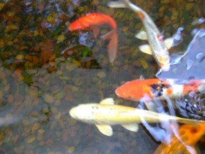 Koi Fish In Home Pond  by Darryl Green