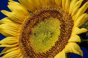 Sunflower Dreams 2 by Dimitry Papkov