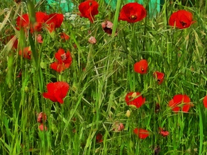 An Abundance Of Red Poppies by Dorothy Berry-Lound