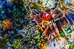 Clown Fish Impressions by Dorothy Berry-Lound