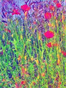 Poppy Alternatives by Dorothy Berry-Lound