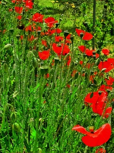 Red Poppies In A Row by Dorothy Berry-Lound