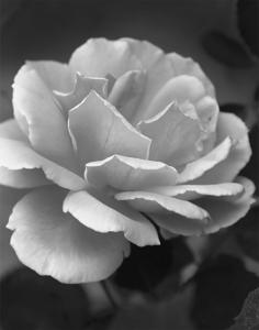B&W Rose by Erica Ordaz Magallanes