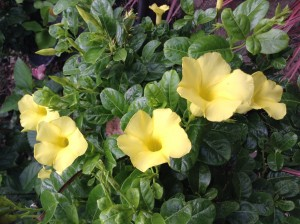 Yellow Mandevilla by Galena Gibson