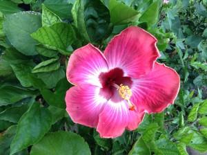 Fuchsia Hibscus  by Galena Gibson