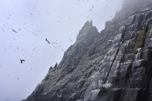 Gannets In The Mist by Gina Lis