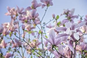 Magnolias by Gina Lis