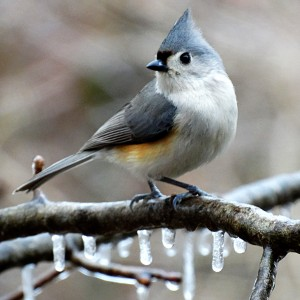 Winter Titmouse by Greene Safaris Productions