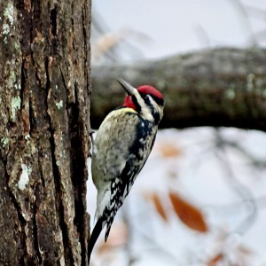 Winter Yellow-Bellied Sapsucker by Greene Safaris Productions