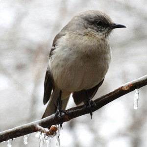 Winter Eastern Phoebe by Greene Safaris Productions