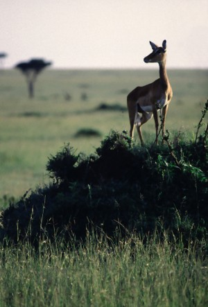 Impala Savanna 2 by Greene Safaris Productions