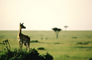 Impala Savanna 1 by Greene Safaris Productions