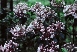 Mountain Laurel by Greene Safaris Productions
