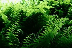 Hay Scented Ferns by Greene Safaris Productions