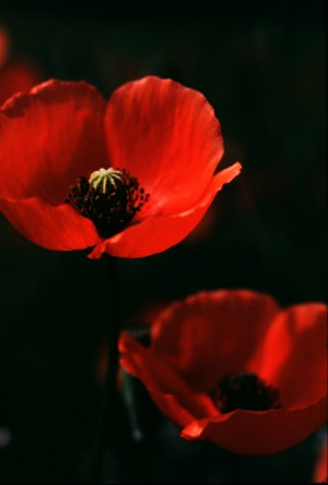 Large Poppies by Greene Safaris Productions