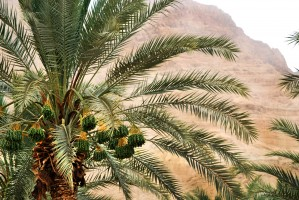 DATE PALM by Henri Hadida