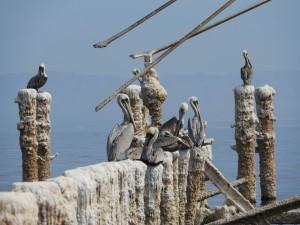 Brown Pelicans by J  Jasmyn Phillips