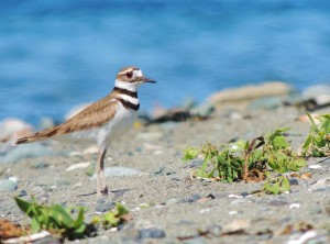 Killdeer on the Beach by J  Jasmyn Phillips