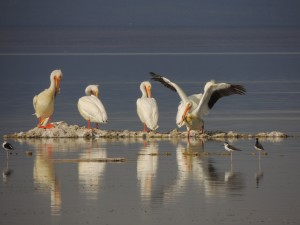 Pelican Reflections 2 by J  Jasmyn Phillips