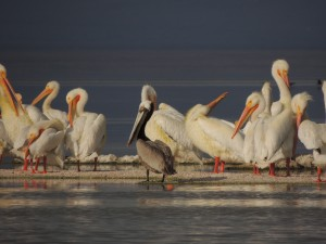 Pelicans at the Salton Sea by J  Jasmyn Phillips