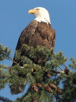 Bald Eagle at Herring Season  by J  Jasmyn Phillips