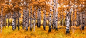 Birch Trees Autumn  by Jane Dobbs