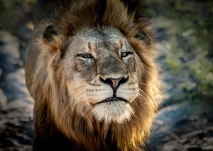 LionFace by Jane Dobbs