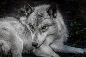 WolfDog by Jane Dobbs