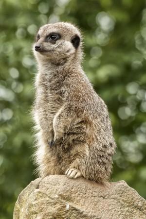 Slender Tailed Meerkat by Jay Lethbridge
