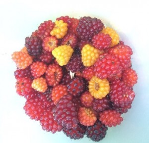 Wild Berries by Jennifer Pearse