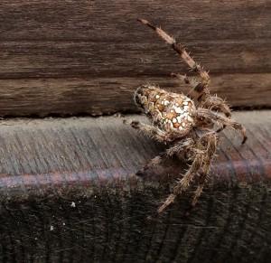 Arachnid  by Jennifer Pearse