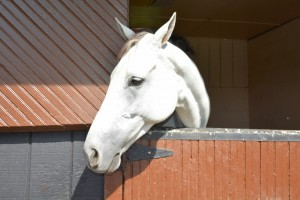 Beautiful White Horse In Stall Photograph by Katherine Lindsey Photography