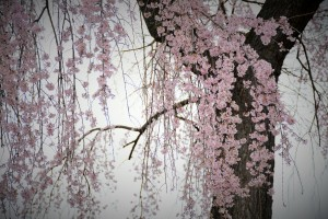Pink Cherry Blossom Tree Photograph by Katherine Lindsey Photography