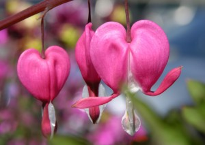 Bleeding Heart Flower Photograph by Katherine Lindsey Photography